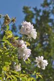 White Rose Sky