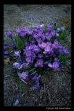 purpleflwr.jpg