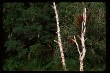 birches1.jpg