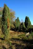 De kapitale jeneverbessen van het kootwijkerveen.