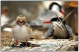 Tern baby
