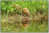 Ducklings preening