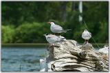 The Tern Family