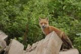 Family of Foxes _ Famille de Renards