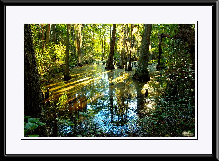 Bald Cypress Swamp, VA Beach.