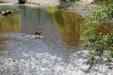 Deer crossing river