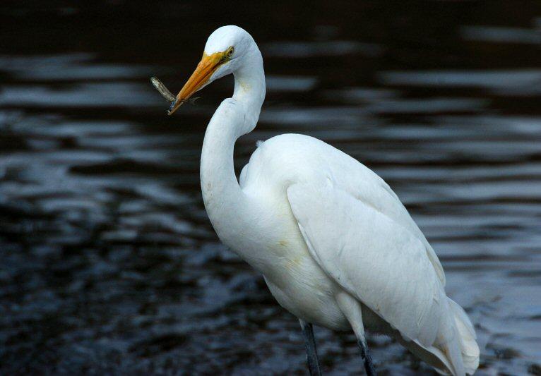 Great Egret  1005-18j  Mill Creek