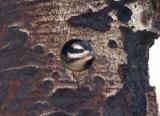 Hairy Woodpecker Female in Nest  0605-5j  Mud Lake Burn