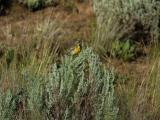 Western Meadowlark  0605-3j  Mud Lake Road