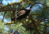 Turkey Vulture  0705-1j  Bethel Ridge Road