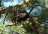 Turkey Vulture  0705-2j  Bethel Ridge Road