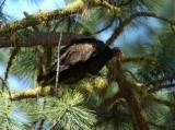 Turkey Vulture  0705-3j  Bethel Ridge Road