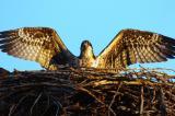 Osprey Juvenile Trying it Out  0705-14j  Myron Lake
