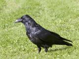 Raven on lawn