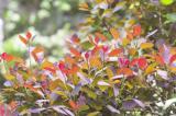 purple red leaves