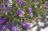Colibri butterfly feasting on lavender blooms