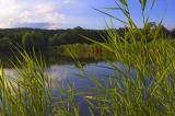 reed and carp pond.jpg