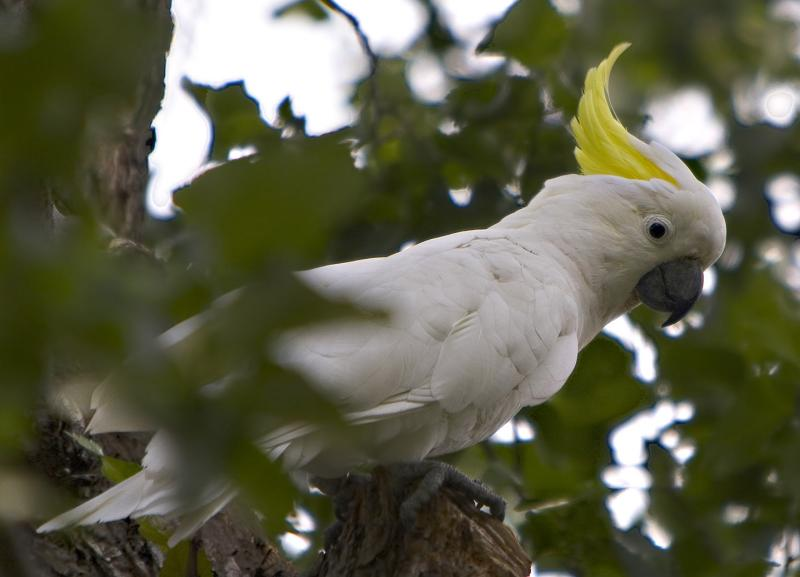Sulphur Crested Cockatoo.jpg