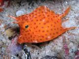 juvenile honeycomb cowfish