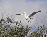 great egret 7648