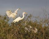 great egret 1031