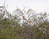 great egret 1627