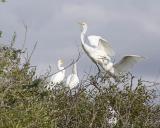 great egret 1673