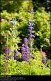 Garden Lupin (Lupin / Lupinus polyphyllus)