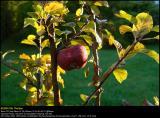 Ingrid Marie apple