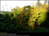Staghorn Sumac (Hjortetakstræ / Rhus typhina)