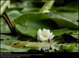 White Waterlily (Hvid Åkande / Nymphaea alba)