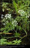 Water-Hemlock (Gifttyde / Cituta Virosa)