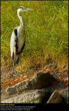 Herons  (updated:2008-07-08)