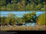 Greylag Geese (Grågås / Anser anser)