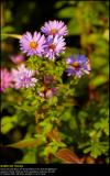 Chrysanthemum (Vinterasters / Dendranthema indicum)