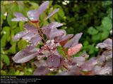 Smoke bush (Parykbusk / Cotinus coggygria)