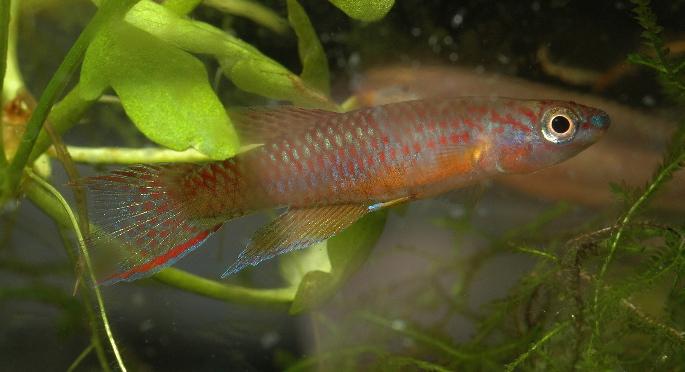 Aphyosemion sp. Ecurya
