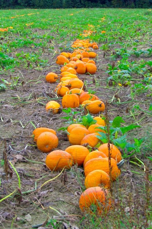 2005-09-18: pumpkin patch