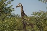 Side View Giraffe