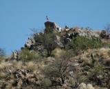 Klipspringer on the Rocks