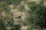 Kudu Cow and Calf