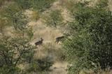 Kudu Again (Blurry but the Best I Had)