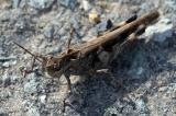 Grasshopper 6