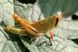 Grasshopper 18