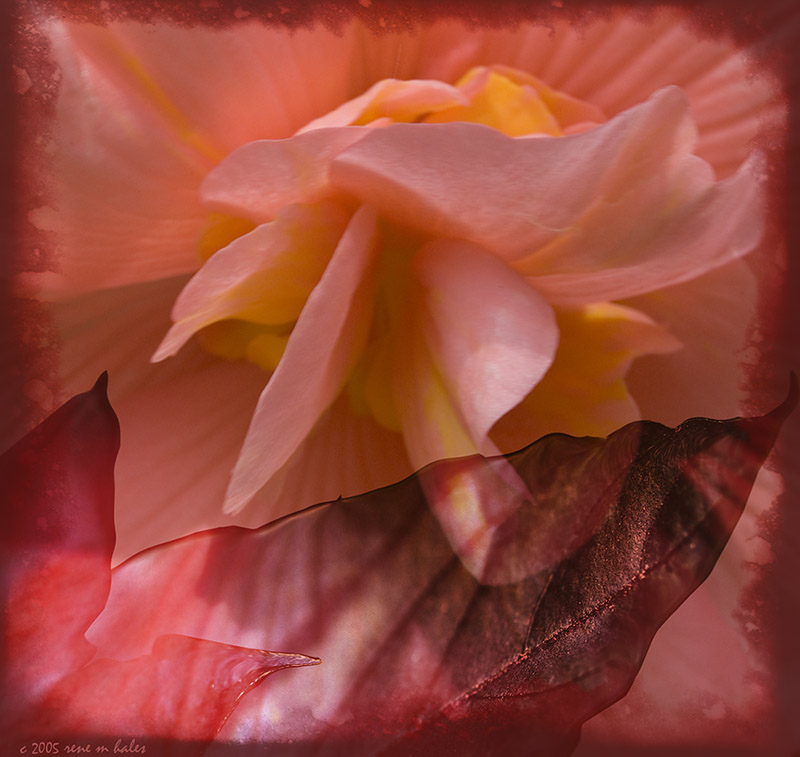 : begonia and leaves :