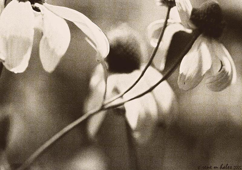 flower dreams i