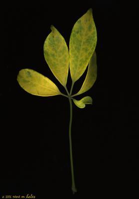 : mottled leaves :
