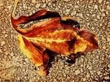 eastchester leaf