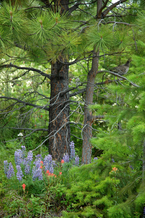 Trees and Flowers and Grouse