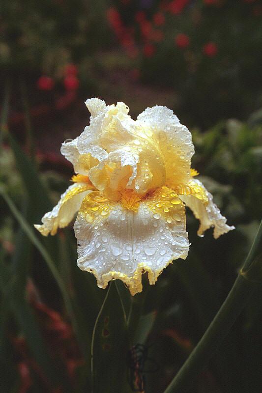 Yellow/White Iris